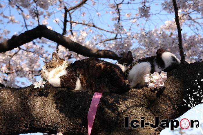 chats-hanami-japon
