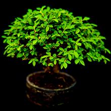 Photo d'un bonsaï